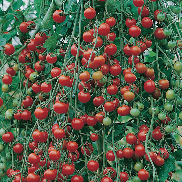 tomato sweet million f1 agm seeds d t brown vegetable seeds. Black Bedroom Furniture Sets. Home Design Ideas
