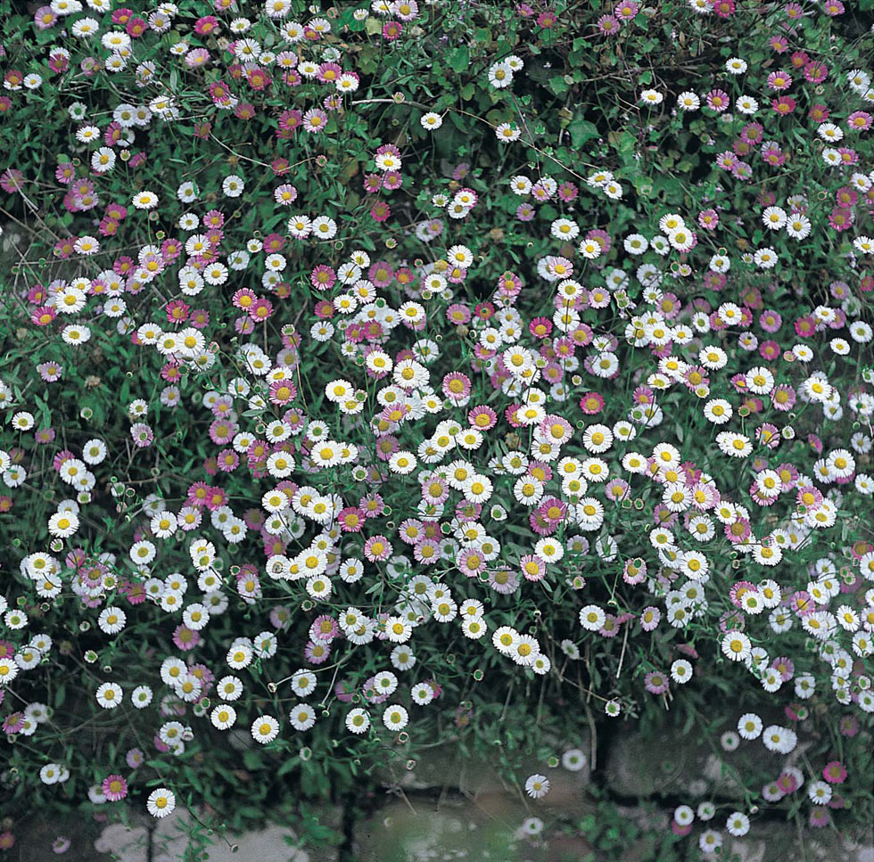 Erigeron Profusion Seeds From Mr Fothergill S Seeds And Plants