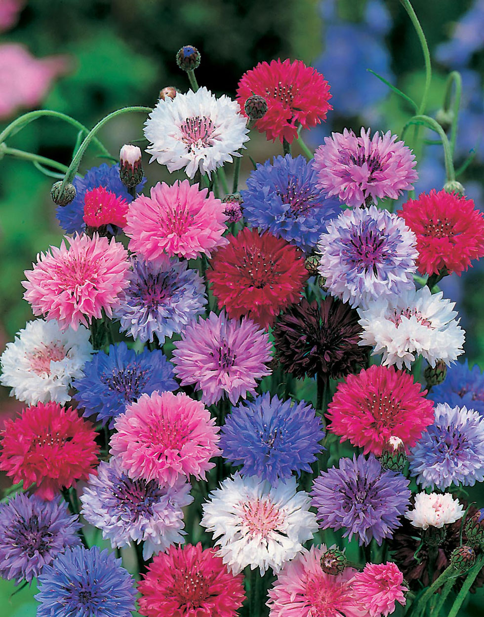 Cornflower tall mixed seeds from mr fothergill s seeds and plants