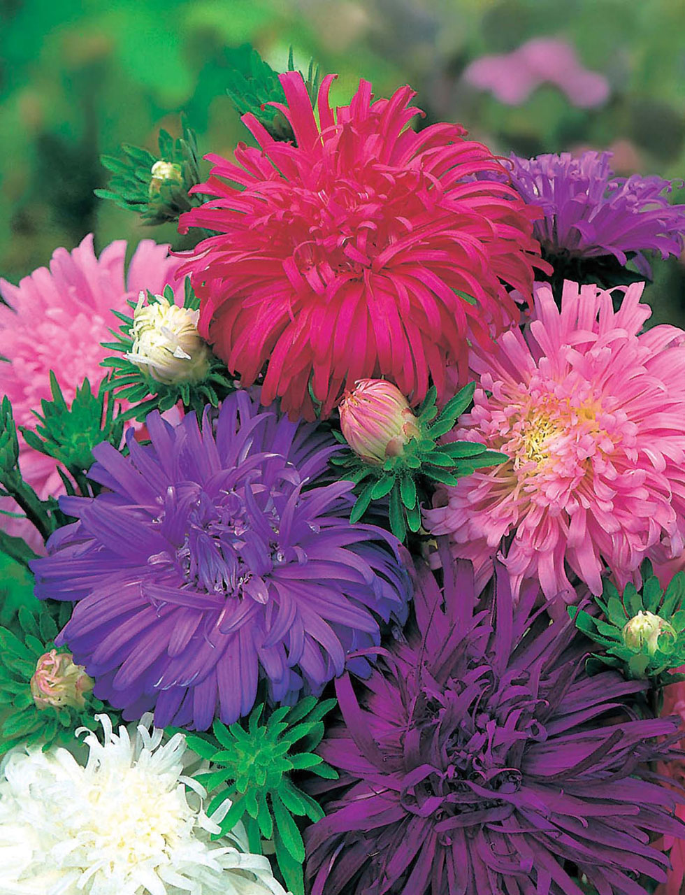 Aster Ostrich Feather Seeds From Mr Fothergill S Seeds And