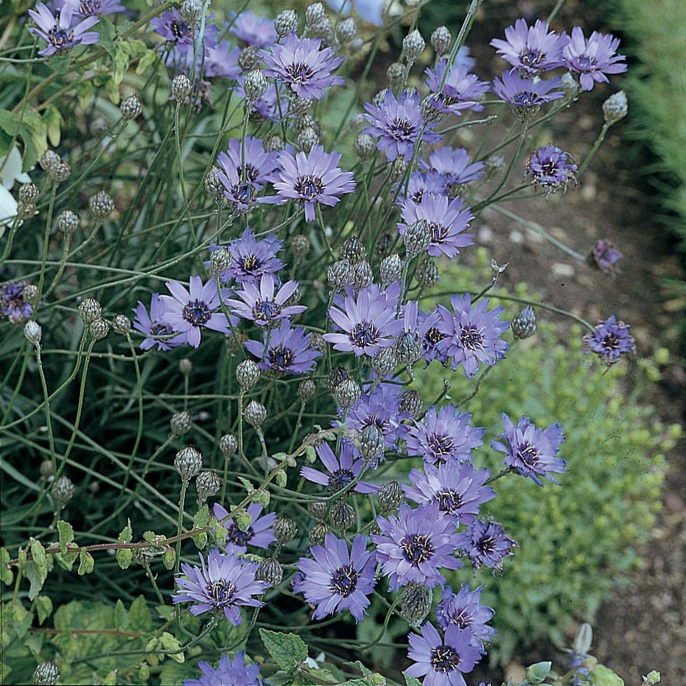 Catananche Cupid's Dart Seeds From Mr Fothergill's Seeds