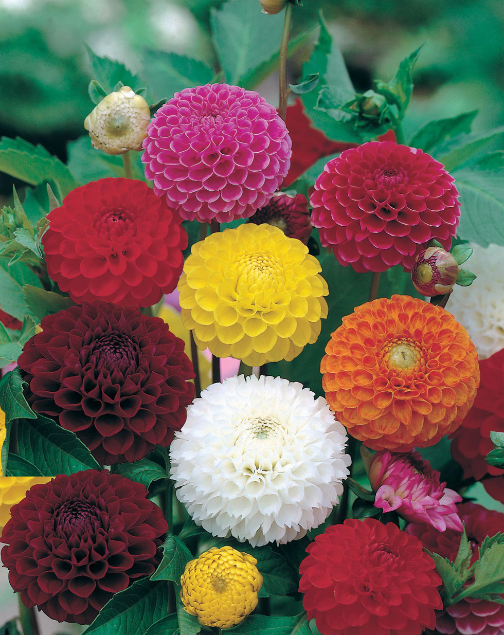 dahlia pompon mixed seeds from mr fothergill 39 s seeds and plants. Black Bedroom Furniture Sets. Home Design Ideas