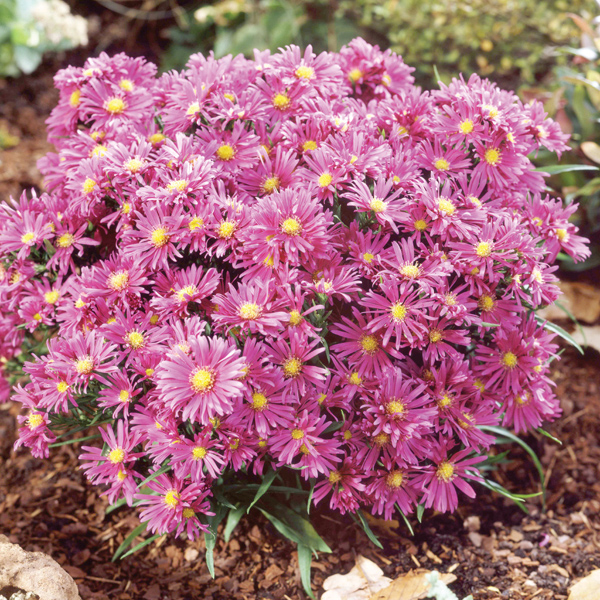 Asters Flowers Care Aster Flower Care