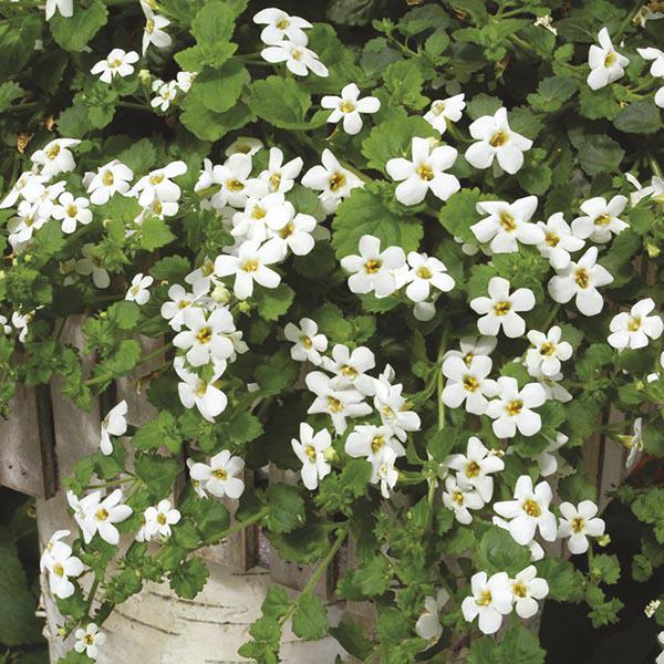 """Sutera cordata 'Snowtopia' """"Bacopa"""" - Buy Online at Annie's Annuals"""