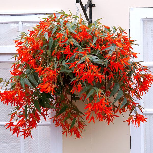Best Flowers For Winter Hanging Baskets Uk : Begonia santa cruz sunset plants easi plant hanging