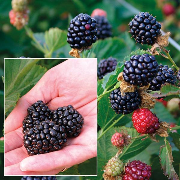 Blackberry Primocane Plant Reuben D T Brown Fruit