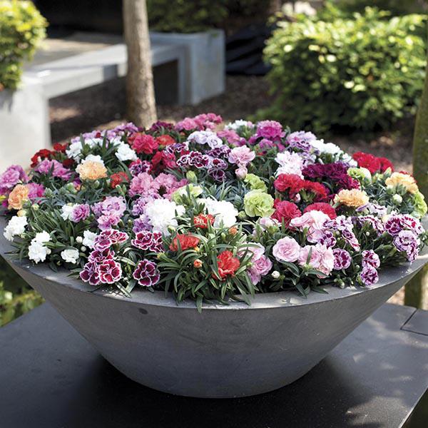 Patio Pot Carnation Flower Plant Collection