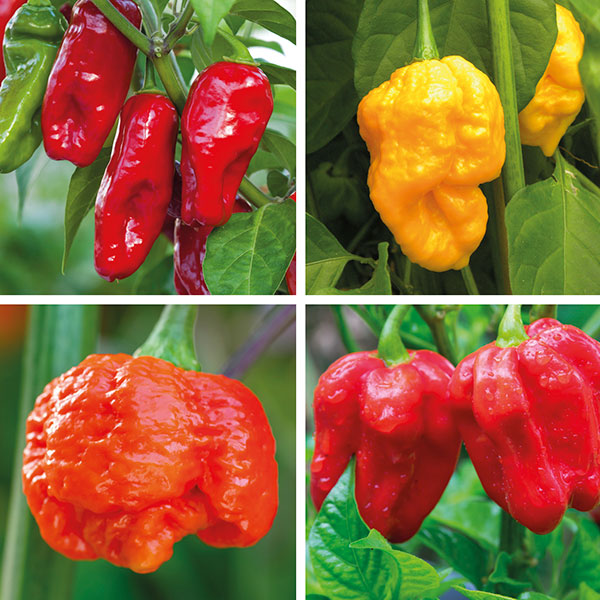 Chilli Plant Images Galleries With A