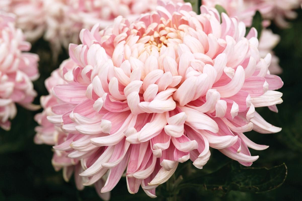 Allouise Pink Woolmans Chrysanthemums