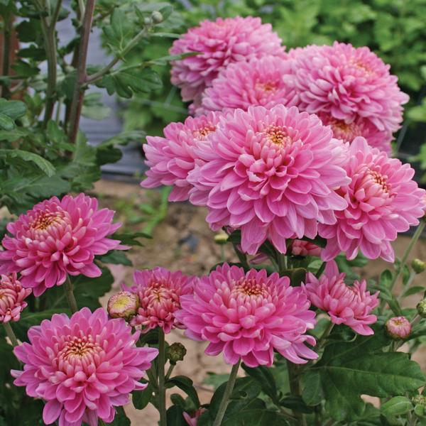 Chrysanthemum Pennine Jane Woolmans Chrysanthemums