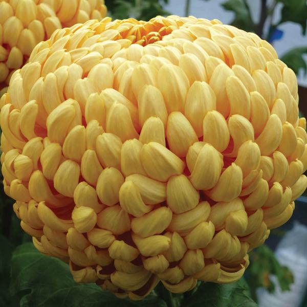 Chrysanthemum seeds for sale