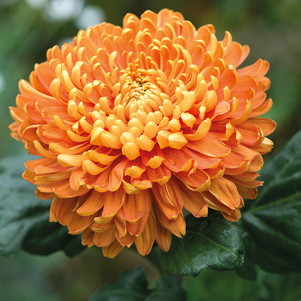 Astro Bronze EarlyWoolmans Chrysanthemums