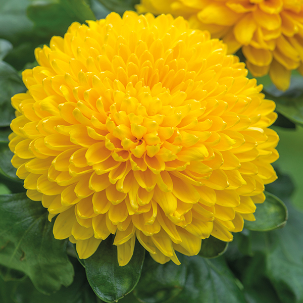 Migoli Yellow|Woolmans Chrysanthemums Yellow Chrysanthemum Flower