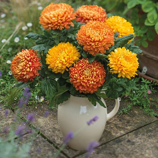 Chrysanthemum Astro Dark Late Woolmans
