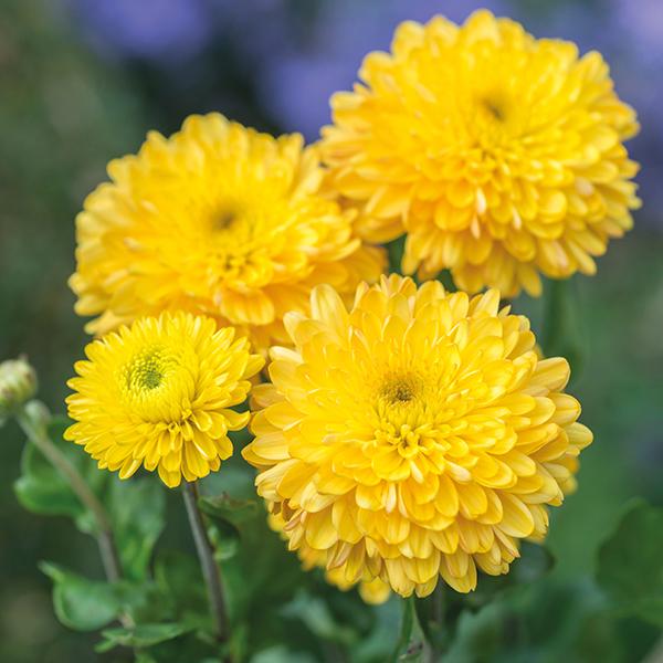 Pompon Yellow Woolmans Chrysanthemums