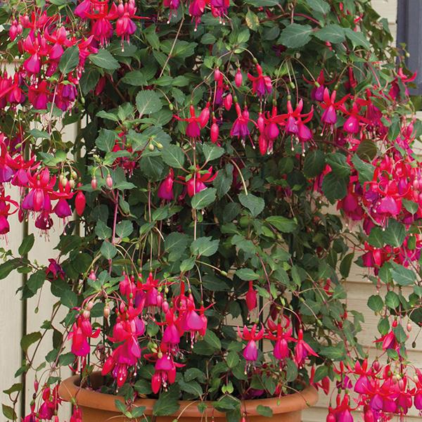 Climbing Fuchsia Pink Fizz Flower Plants From Dt Brown Seeds