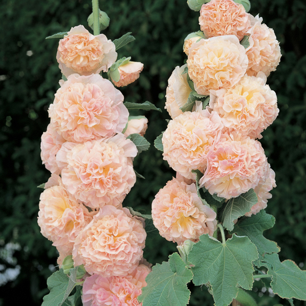Hollyhock Chater S Collection Woolmans