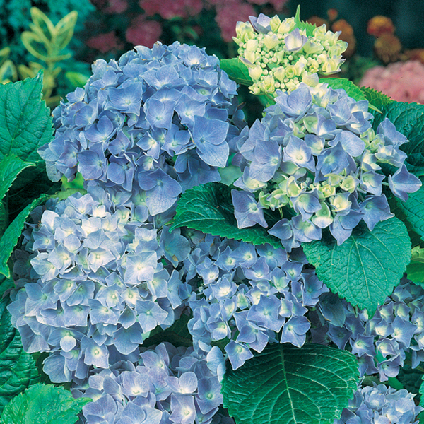 Hydrangea collection pack d t brown flower plants - Care potted hydrangea ...