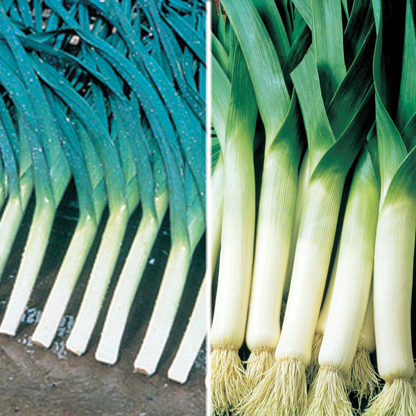 leeks plant - photo #26