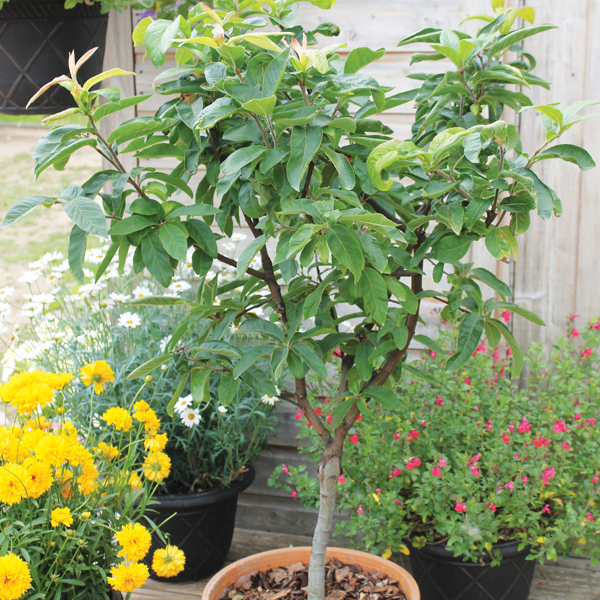 Medlar Sibley S Patio Fruit Tree D T Brown Fruit Trees