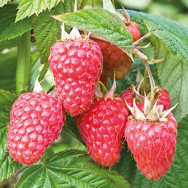 raspberry malling juno fruit plants floricane from d.t. brown, Beautiful flower