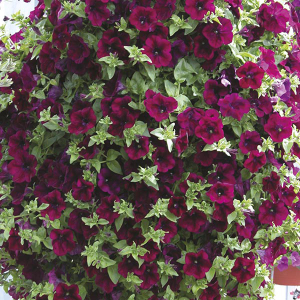 Surfinia petunia burgundy flower plants d t brown flower for Petunia surfinia