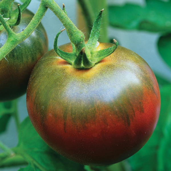 Tomato grafted plants noir de crimee from dt brown - Noir de crimee ...