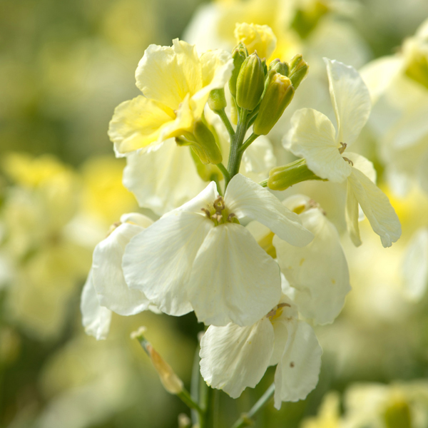Wallflower Ivory White Plants from Mr Fothergill\'s Seeds and Plants