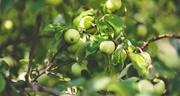 Spuitzone-fruitbomen