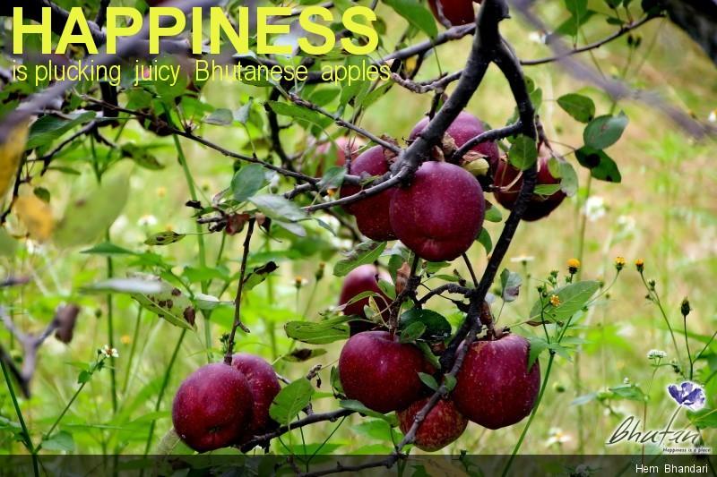 Happiness is plucking  juicy  Bhutanese  apples
