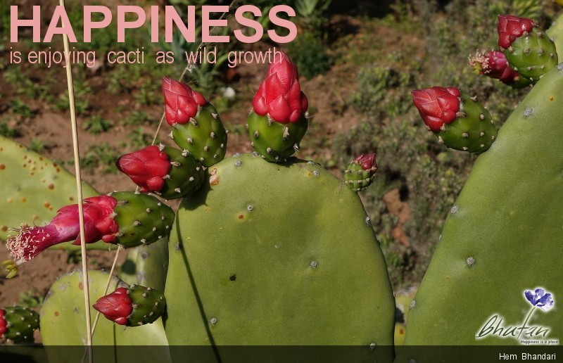 Happiness is enjoying  cacti  as  wild  growth