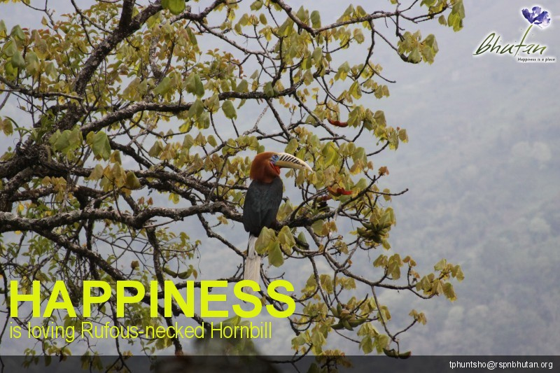 Happiness is loving Rufous-necked Hornbill