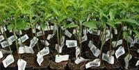 Microinjertos de frutales agro image 1 3