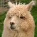 profile image of Tobias Alpaca