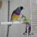 profile image of Rainbow Finch