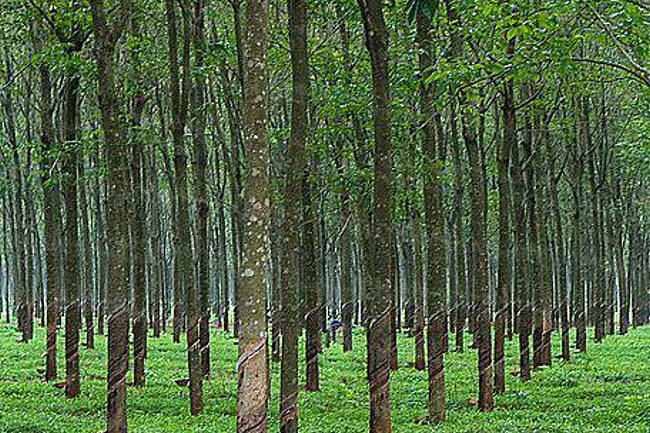 rubber plantation thesis