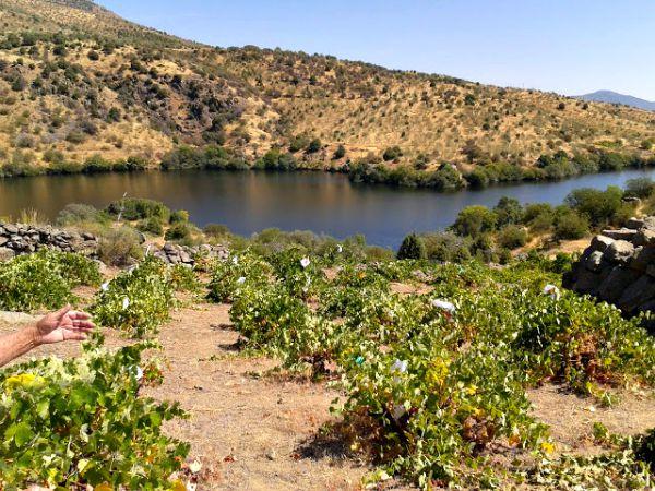 Cepas de albillo en el Tiemblo, Ávila