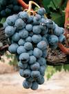 Uva vino caladoc francia thumb