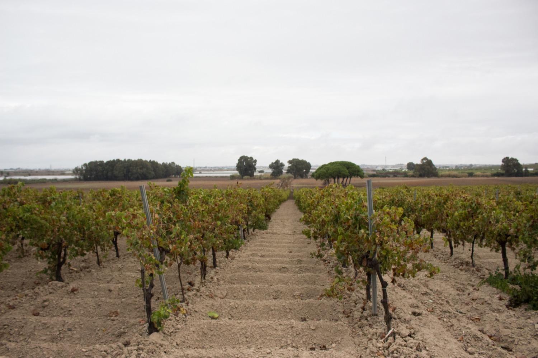 Las viñas sobre la albariza en Bodegas Lustau