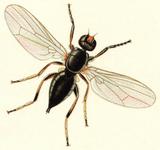 Piophila casei casu marzu col