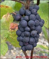 Web_photo-pinotnoir_col