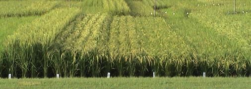 Cultivo de arroz en Japón