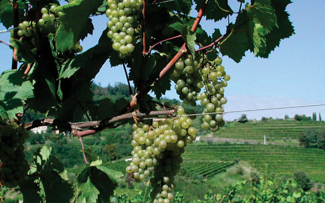 Viña uva blanca
