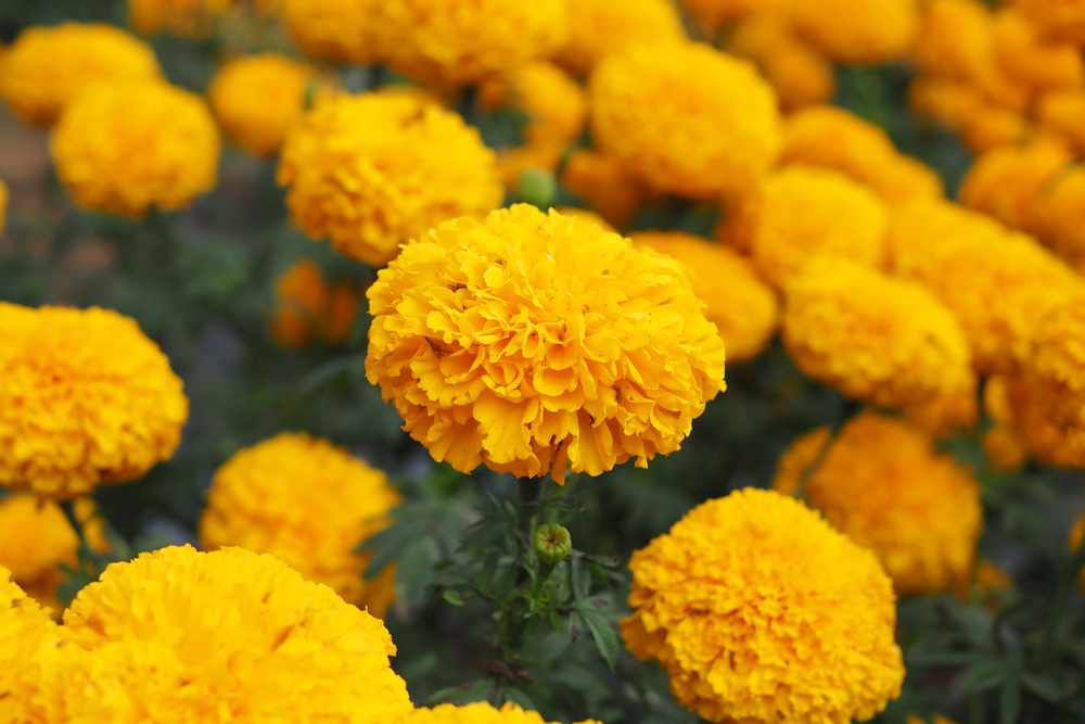 Marigold for the October born