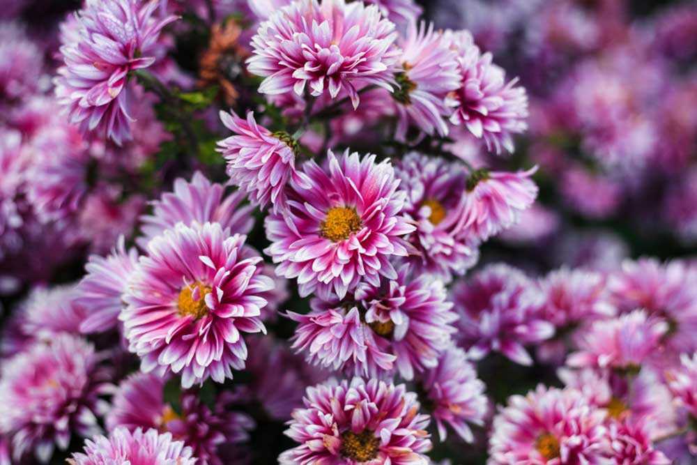 Perfect-gift-November-birthday-flowers-Chrysanthemum