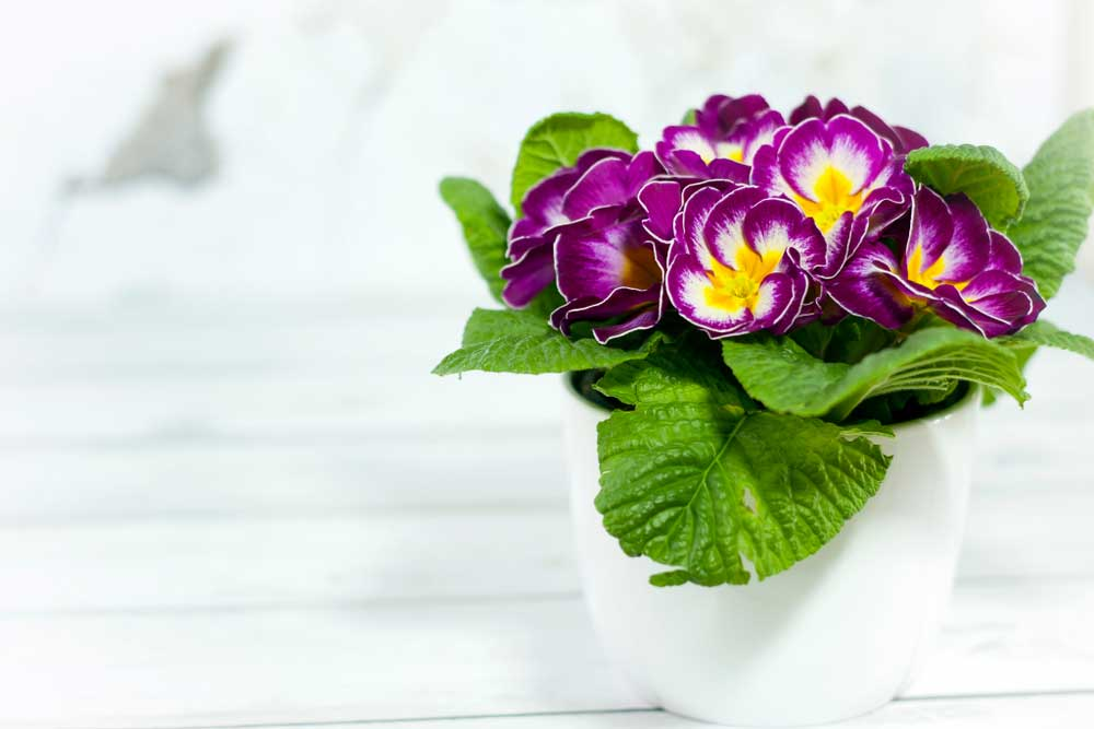 Violet-and-Primrose-The-Birthday-Flower-of-February-Born