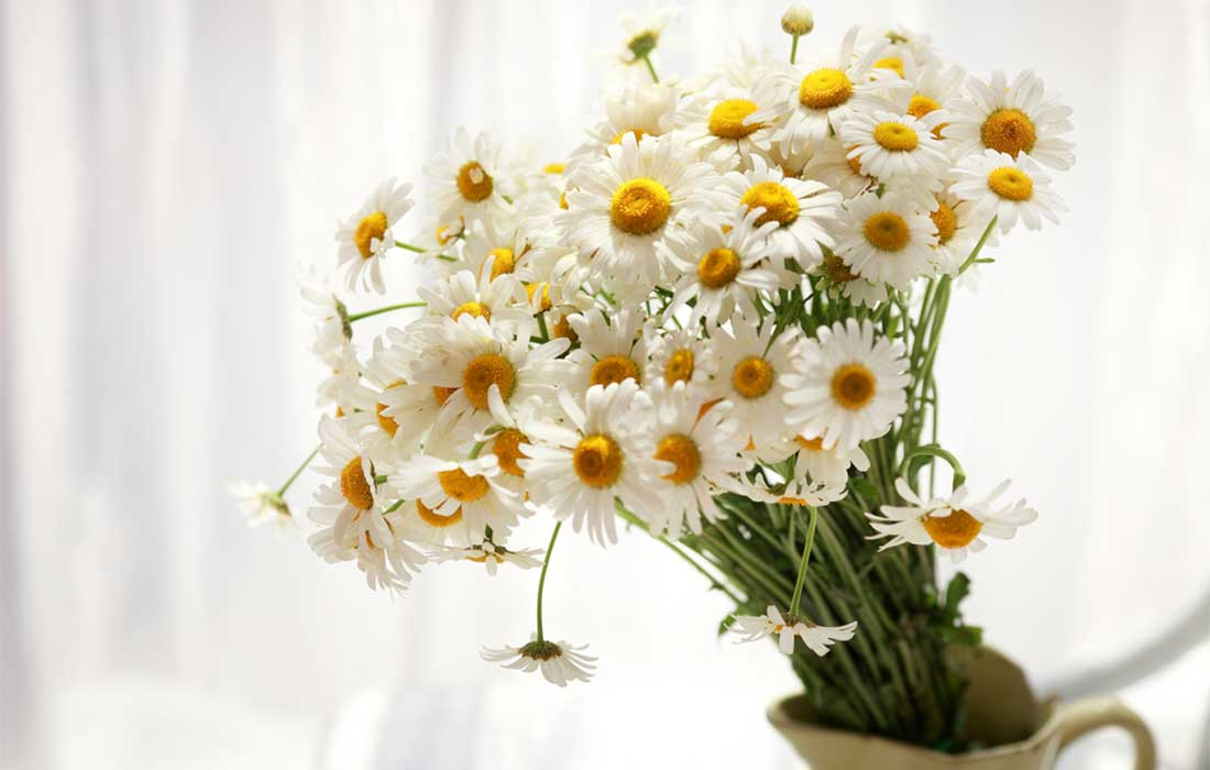 Daisy-The-Perfect-Gift-for-an-April-Birthday