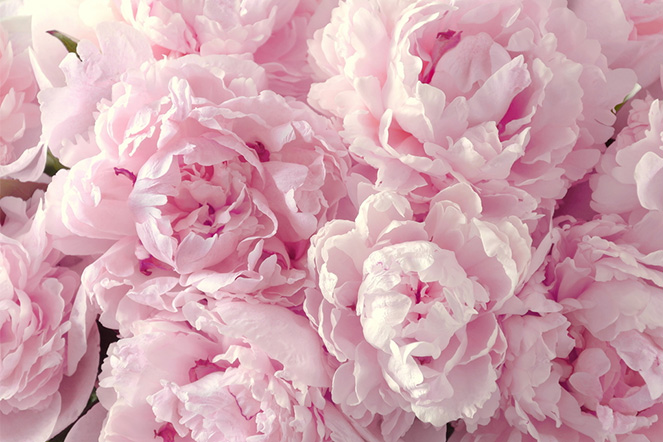 Learn-more-about-peonies-dubai