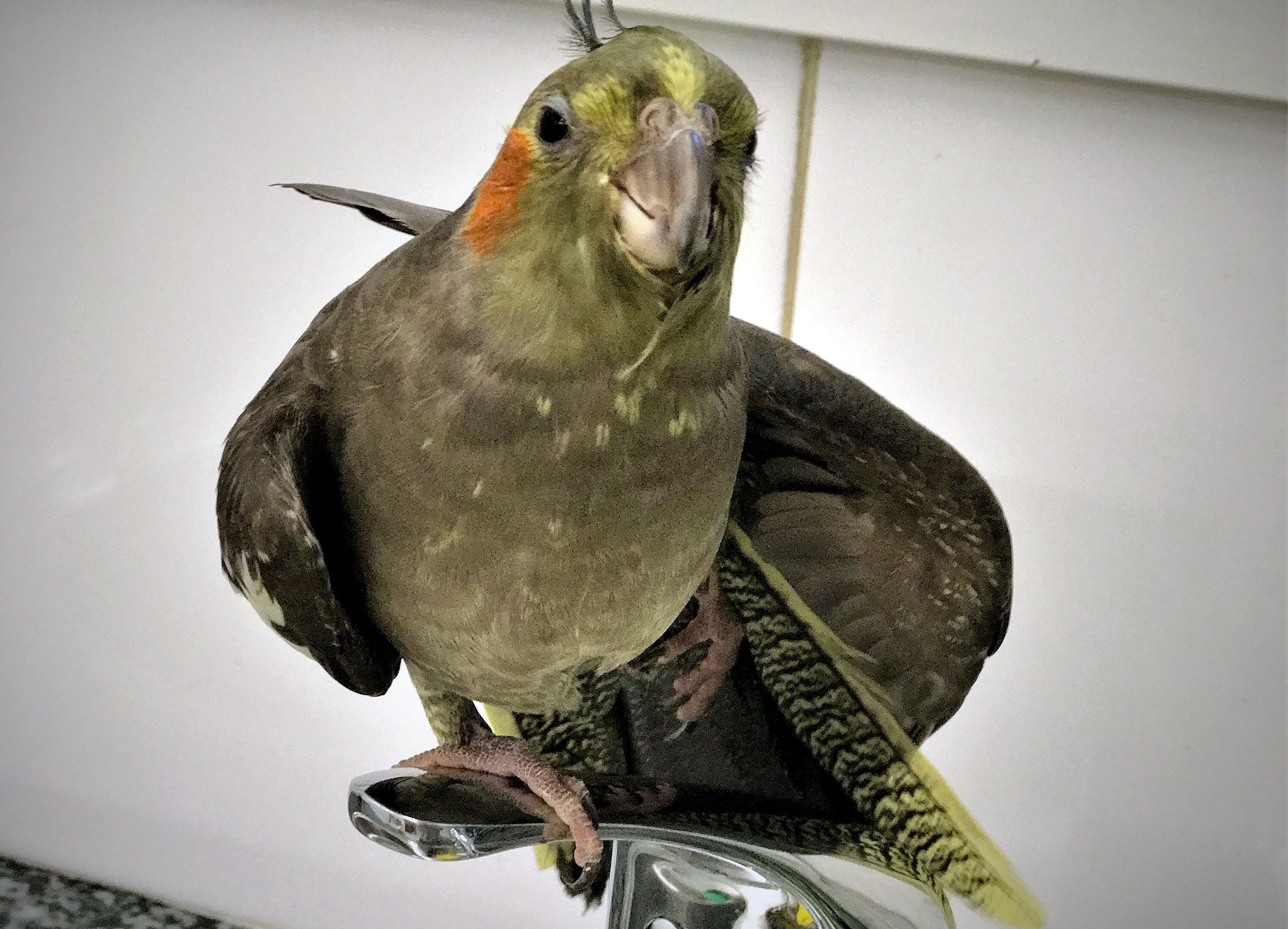 Un ocell enfilat sobre una aixeta