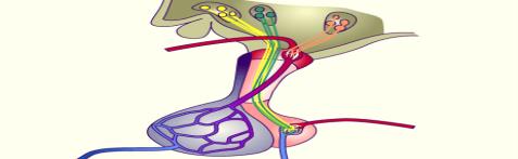 http://www.unifr.ch/anatomy/elearningfree/allemand/biochemie/endokrin/images/hypophyse_mod_ohne.gif